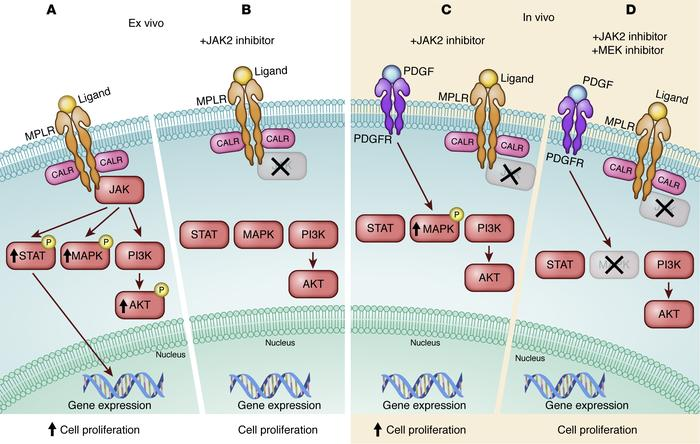 Inhibiting the JAK pathway in MPN. (A and B) Ex vivo inhibition strategy...