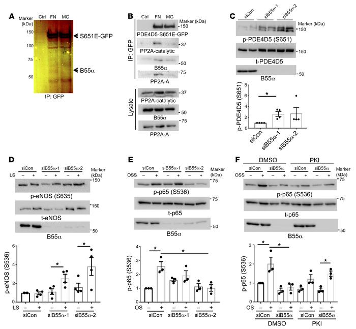B55α is required for PP2A-dependent PDE4D dephosphorylation. (A) FN prom...
