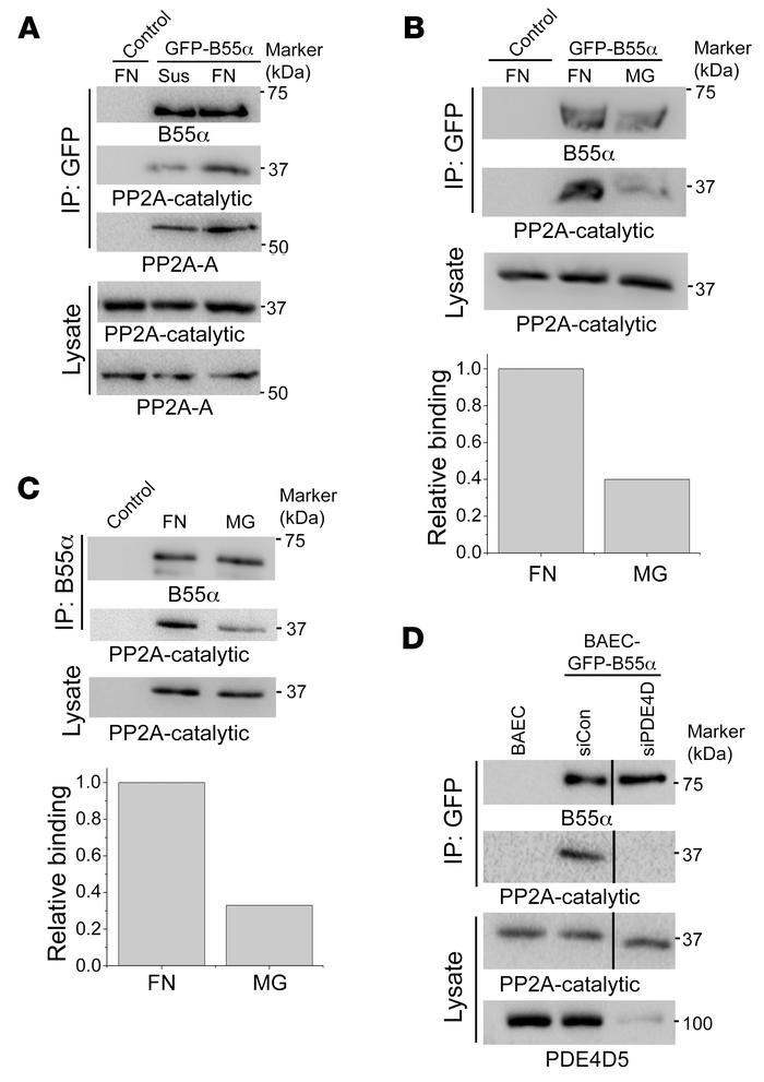 ECM-dependent PP2A-B55α assembly. (A) BAECs expressing GFP-B55α were det...