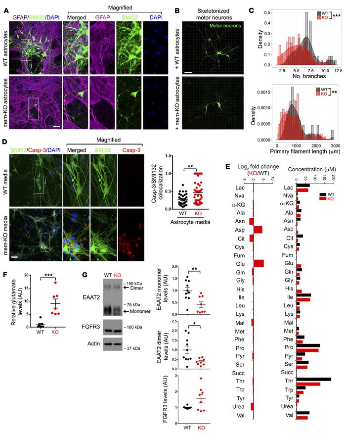 Membralin deletion in astrocytes results in accumulation of neurotoxic c...