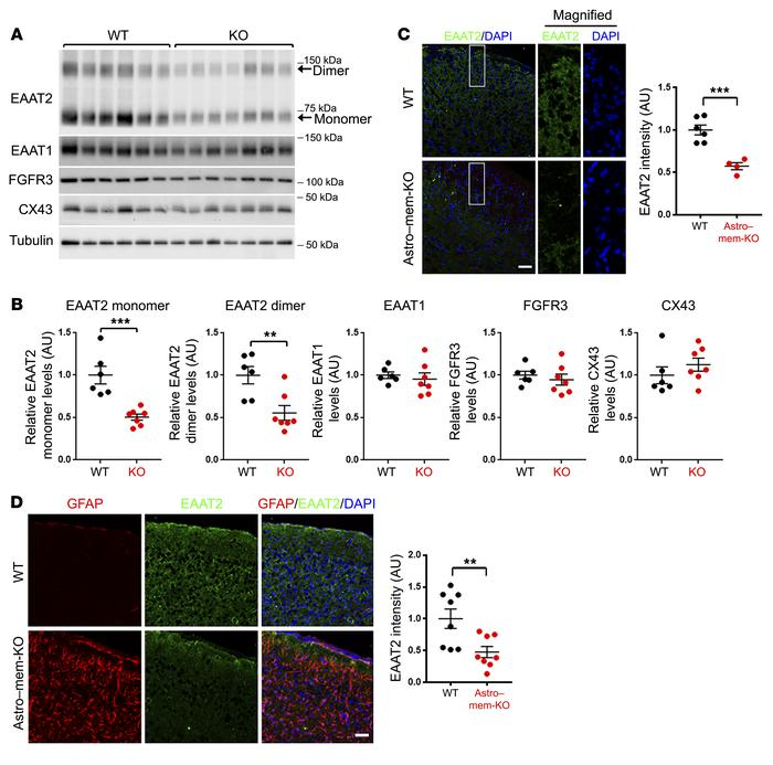 Astroglial membralin deletion results in impaired EAAT2 expression. (A) ...