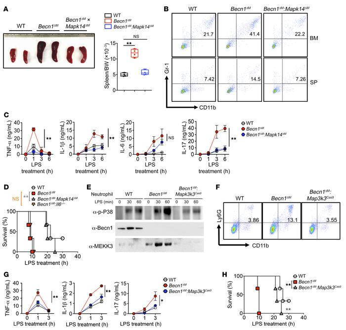 p38 or MEKK3 ablation restores Becn1ΔM mouse phenotype so that it is sim...