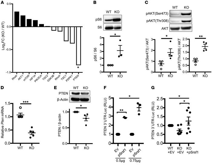T cells from Srsf1-cKO mice exhibit increased activation of the mTORC1 p...