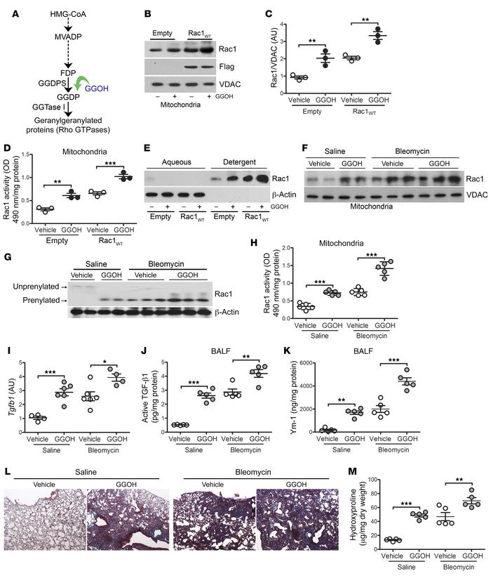 Increasing Rac1 activity by augmentation of isoprenylation promotes lung...
