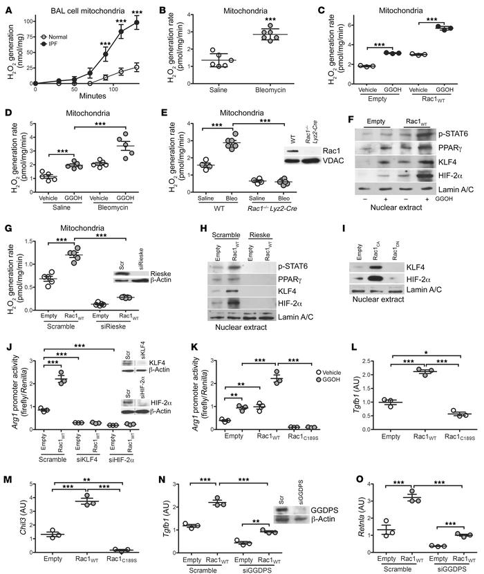 mtROS is required for Rac1-mediated profibrotic polarization of BAL cell...