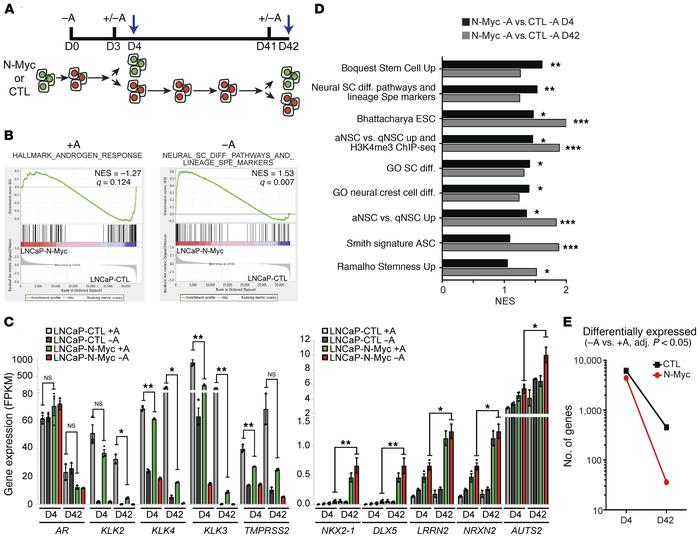 N-Myc expression leads to neural lineage gene expression and reduced and...