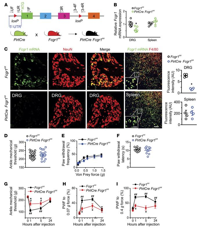 Neuronal FcγRI contributes to IgG-IC–induced acute nocifensive behaviors...