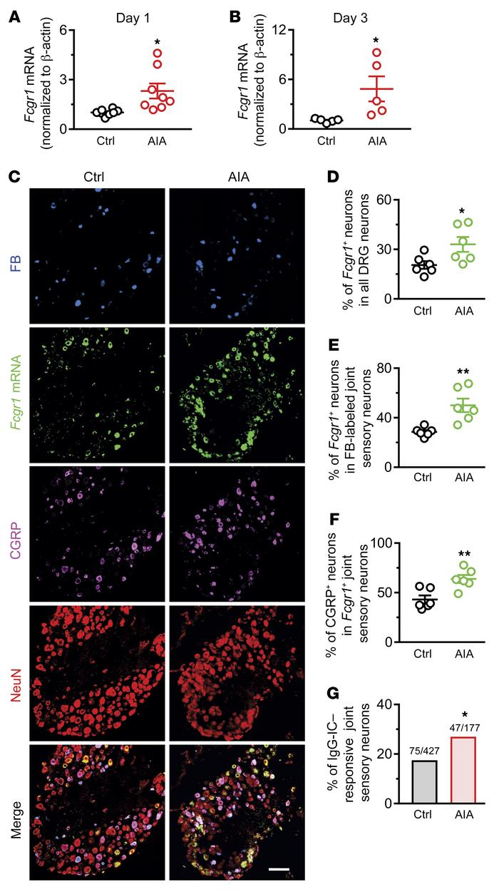 AIA upregulates the expression and function of FcγRI in mouse DRG neuron...