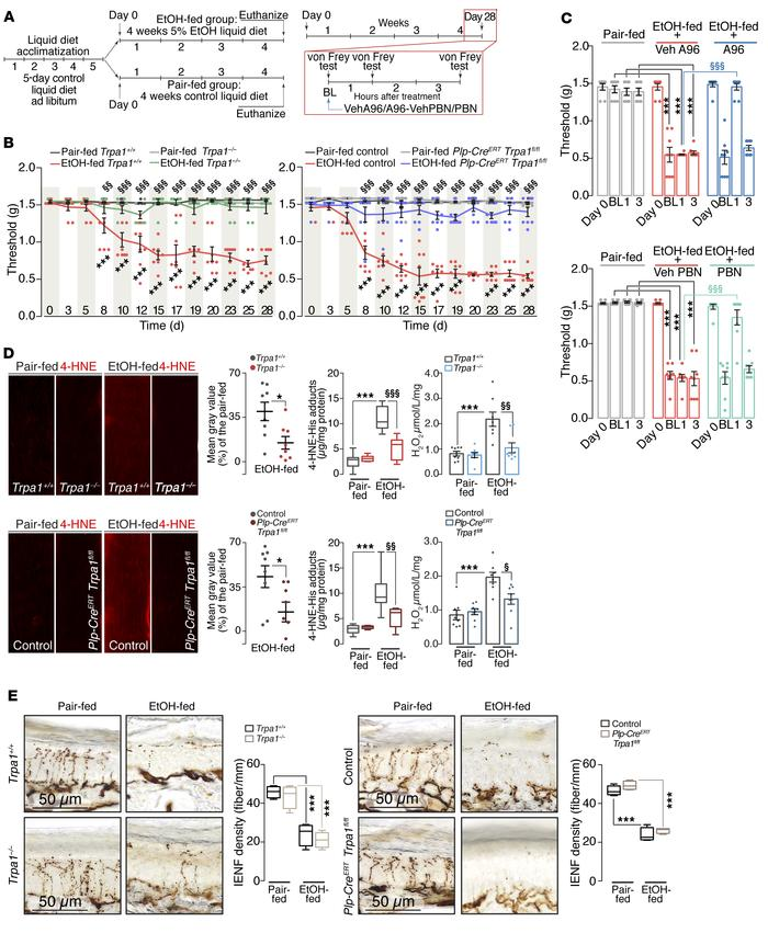 Schwann cell TRPA1 mediates mechanical allodynia evoked by chronic ethan...