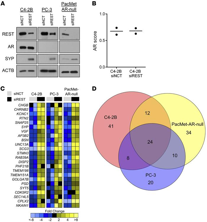 REST knockdown in AR-expressing and AR-null CRPC cell lines. (A) Immunob...