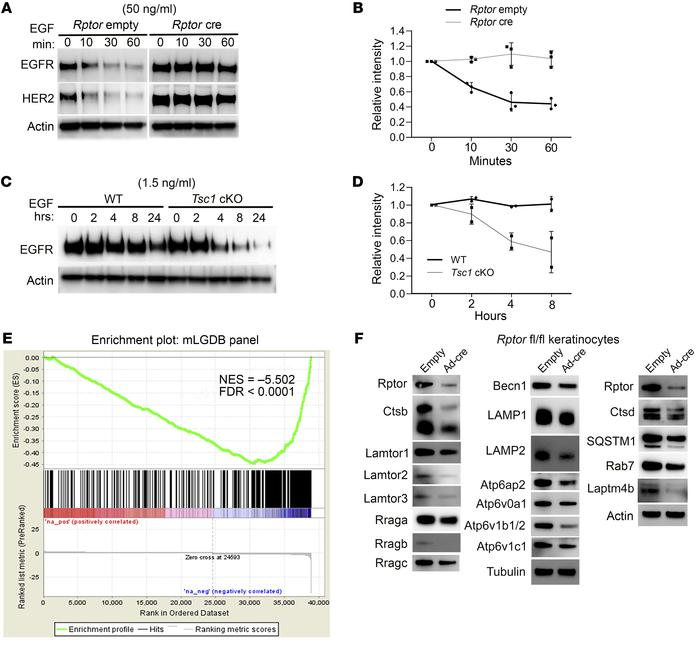 mTORC1 accelerates EGF-induced EGFR degradation. (A) Starved empty and R...