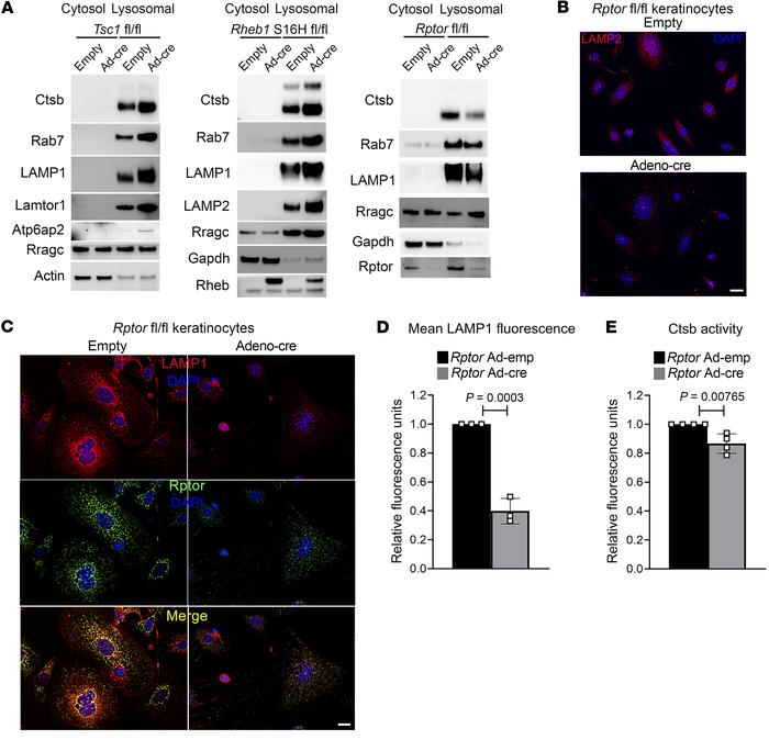 mTORC1 promotes lysosomal biogenesis and activity. (A) Immunoblot analys...