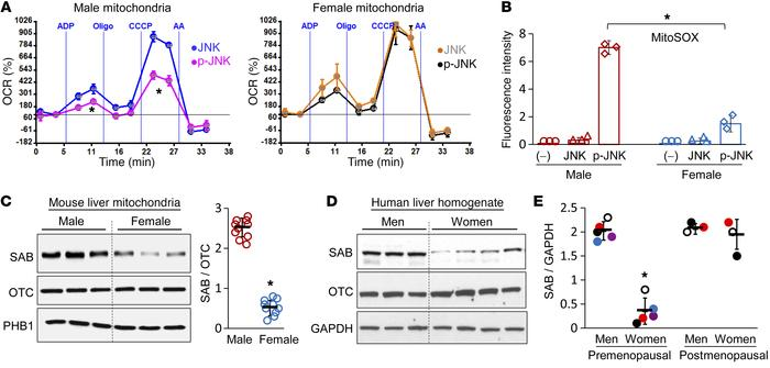 Sex difference in p-JNK inhibition of mitochondrial respiration and SAB ...