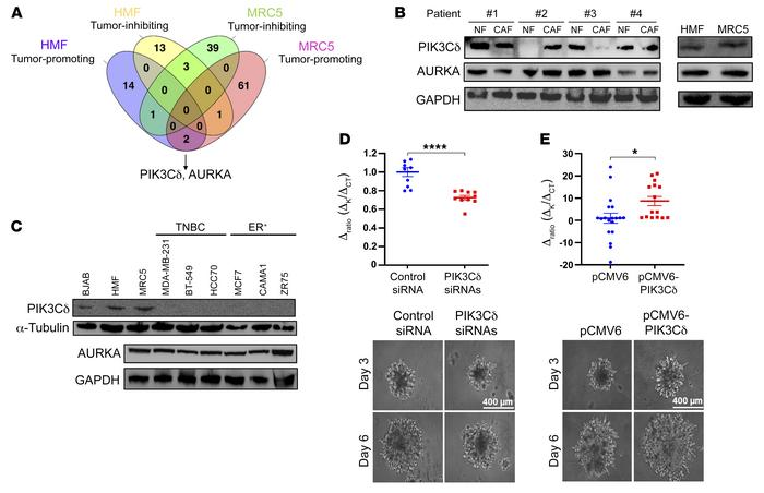 Involvement of fibroblast-expressed PIK3Cδ in TNBC invasion. (A) Venn di...