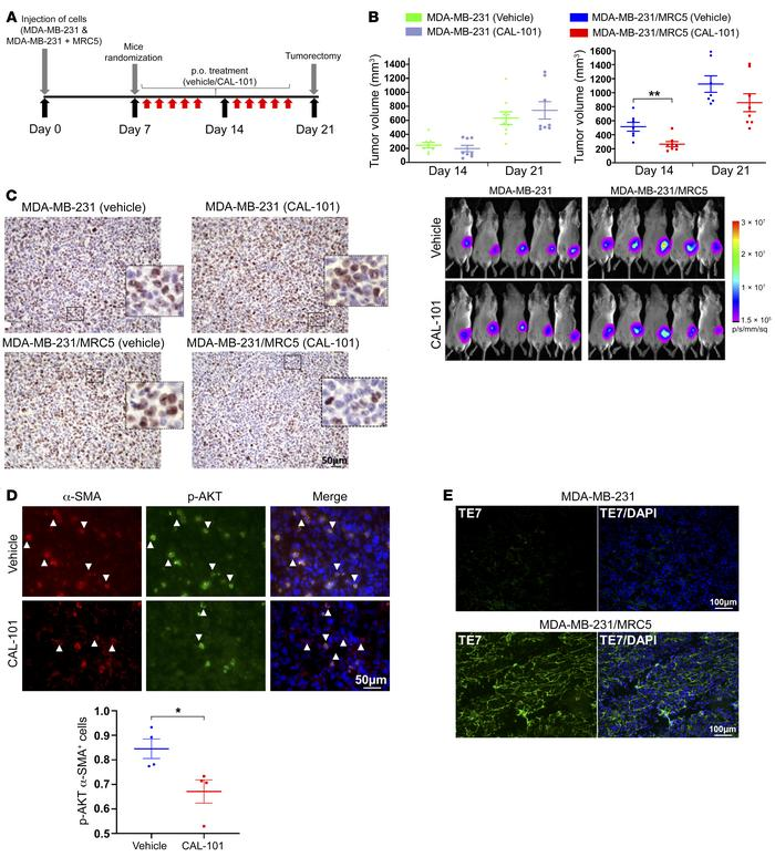 Effects of fibroblast PIK3Cδ inhibition on TNBC tumor growth in vivo. (A...