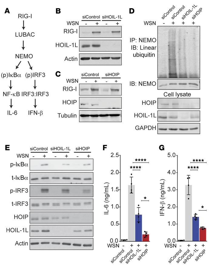 Linear ubiquitin chains modulate the NF-κB response to IAV downstream of...