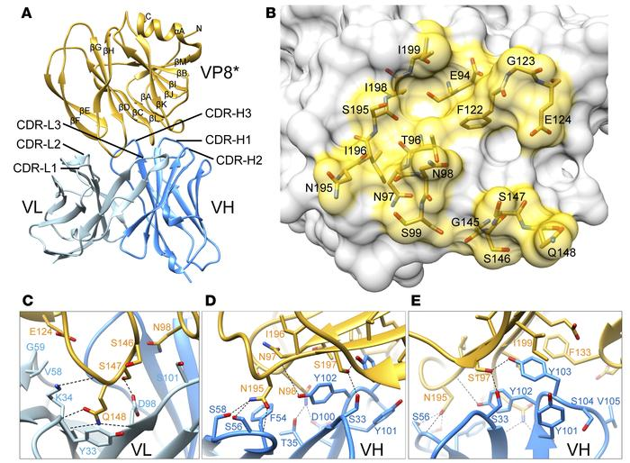 Crystal structure of scFv9 in complex with P[4] VP8*. (A) The overall st...