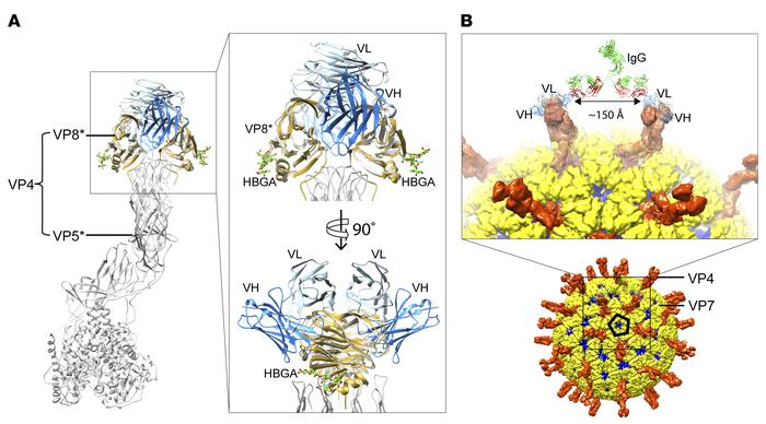 Structural basis for how mAb9 may interact with VP8*. (A) Superimpositio...