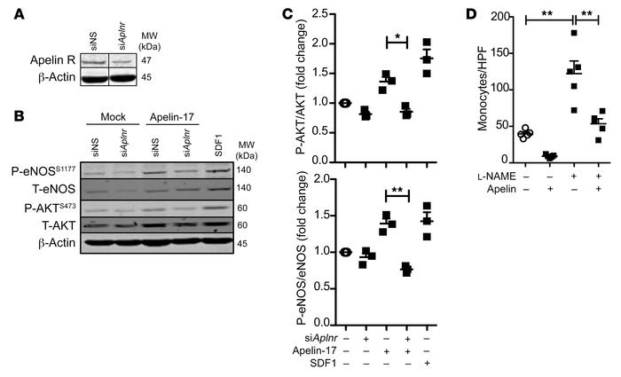 Apelin stimulates EC eNOS activation and inhibits monocyte adhesion. (A)...