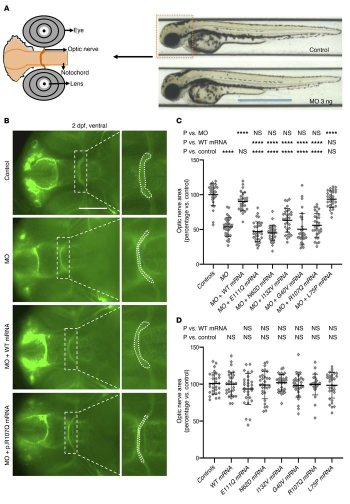 Optic nerve phenotypes and in vivo complementation studies in zebrafish ...