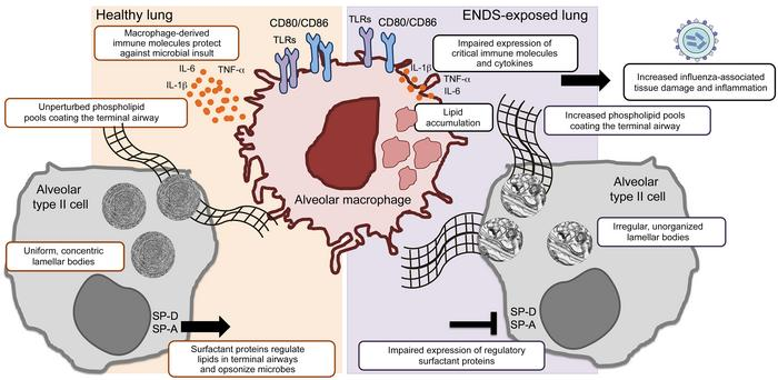 Summary model: ENDS-mediated changes in the lung upon chronic exposure. ...