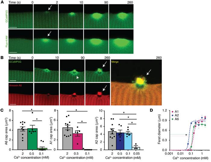 Ca2+-dependent annexin repair cap recruitment at the site of injury. Myo...