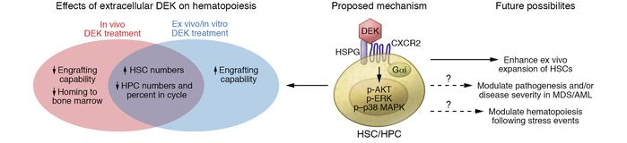 The role of extracellular DEK in hematopoiesis. Extracellular DEK engage...