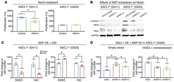 NDP knockdown inhibits Notch signaling in ASCL1hi GSCs. (A) Effects of ...