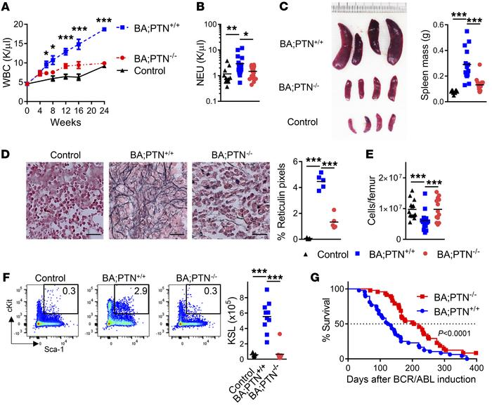 PTN is necessary for CML pathogenesis in BA mice. (A) WBCs over time in ...