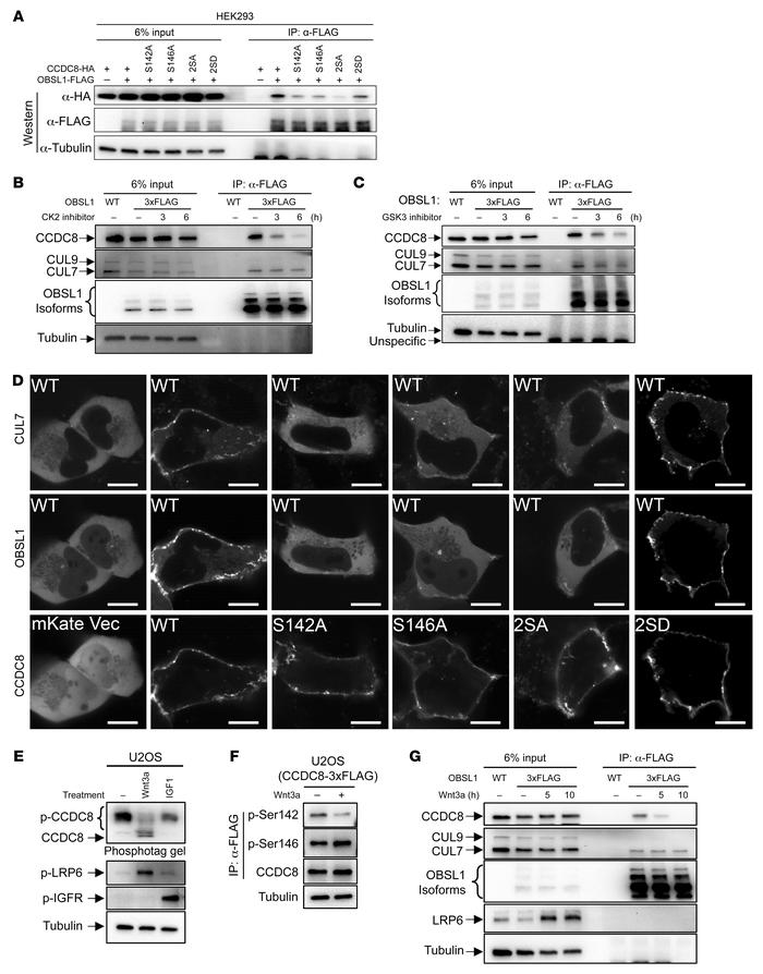 The Wnt pathway inhibits CCDC8 phosphorylation and 3-M complex assembly....