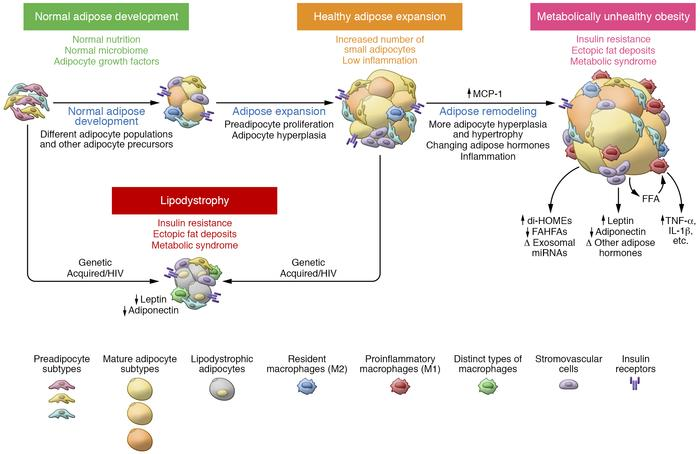 Adipose tissue development and remodeling in health and disease. From le...