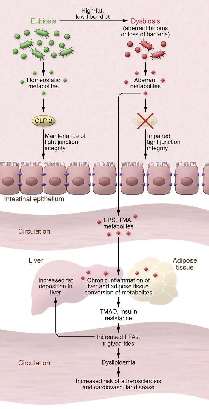 A model for the gut microbiome's interaction with the intestinal epithel...