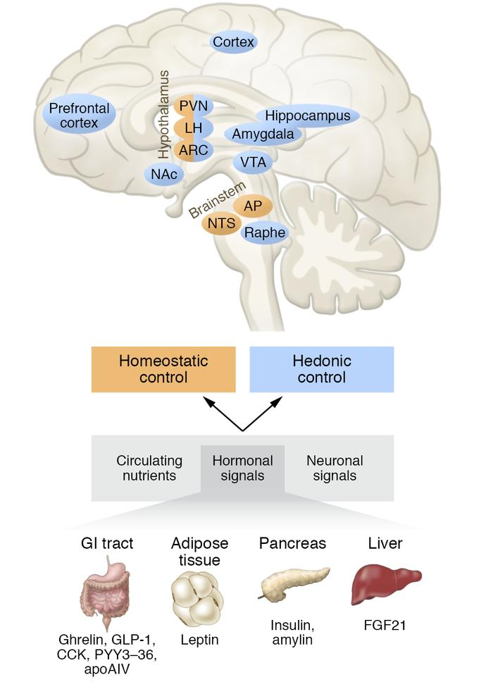 Homeostatic and hedonic control centers in the brain. Drugs targeting co...