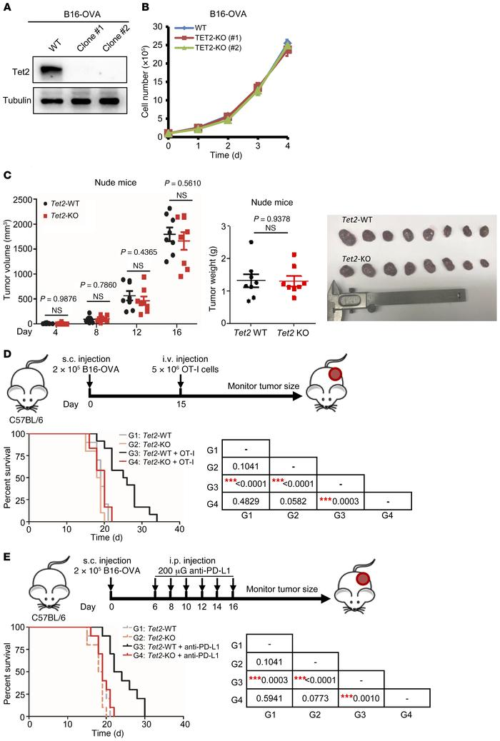 Loss of Tet2 confers tumor resistance to immunotherapy. (A) Western blot...