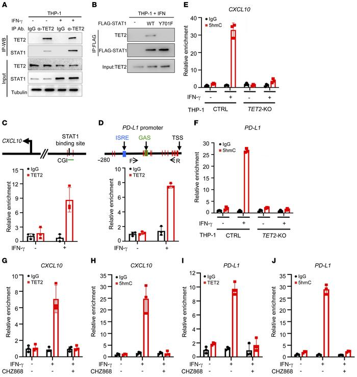 TET2 mediates the IFN-γ/JAK2/STAT1 signaling pathway to activate Th1-typ...