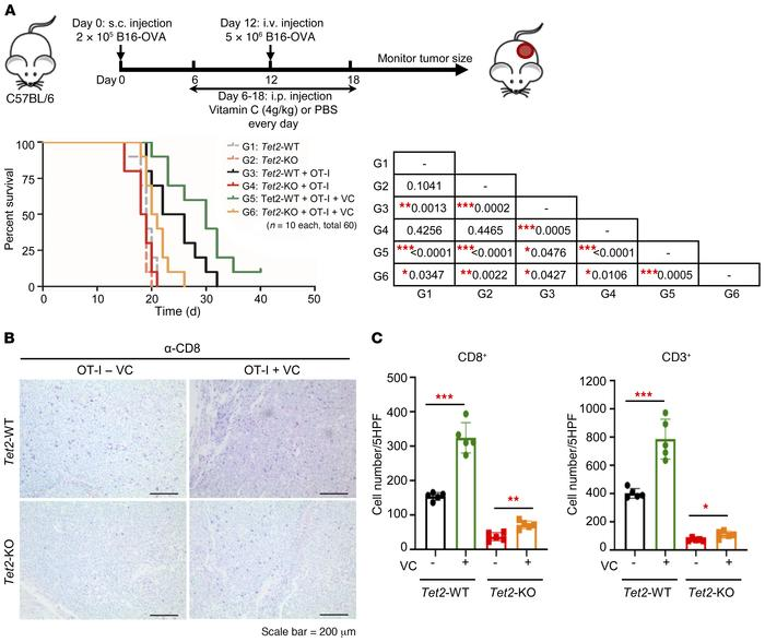 VC stimulates TET activity to enhance tumor-infiltrating lymphocytes and...