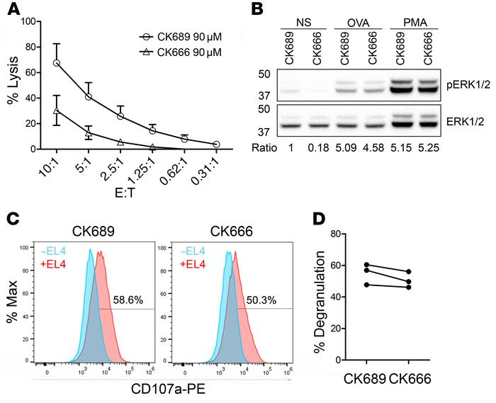 Arp2/3 inhibition affects CTL killing. (A) Killing capacity of OT-I CTLs...