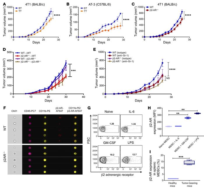 β2-AR activation increases tumor growth in a MDSC-dependent manner. (A a...
