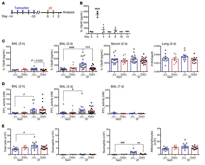 P2Y6 receptors regulate early alveolar IL-12 production. (A) Schematic o...