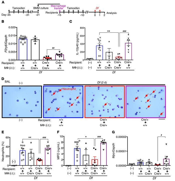 Pulmonary +/+ macrophage transplantation restores Df-induced IL-12p40 pr...