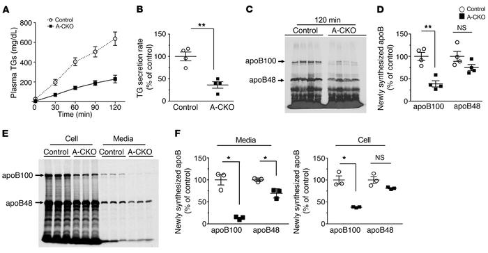 Reduced TG and apoB100 secretion from livers and isolated hepatocytes of...