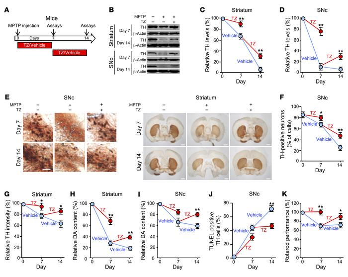 TZ improves dopamine neuron and motor function in MPTP-treated mice. (A)...