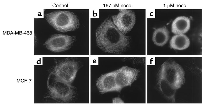 Effect of nocodazole on microtubule stability in MDA-MB-468 and MCF-7 ce...