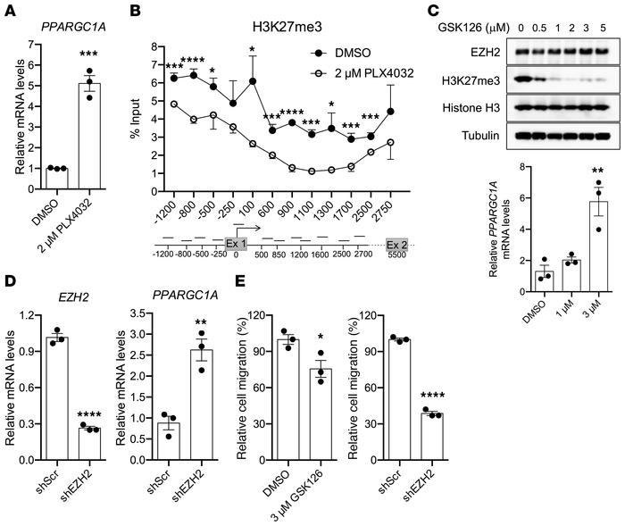 EZH2-mediated H3K27me3 suppresses PGC1a expression in melanoma cells. (A...