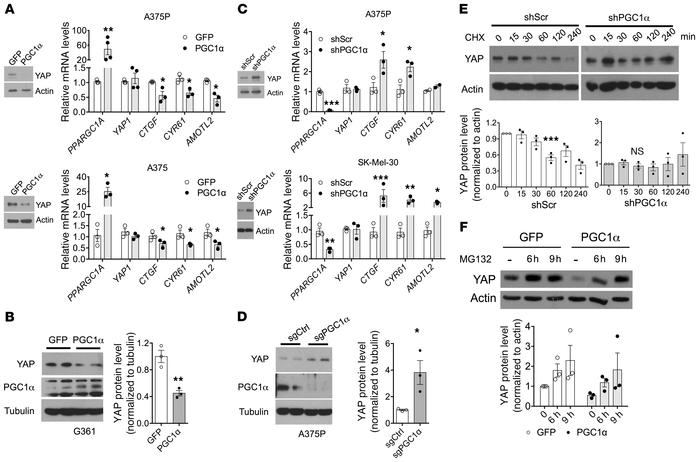PGC1α compromises YAP stability via a proteasome-mediated pathway. (A an...