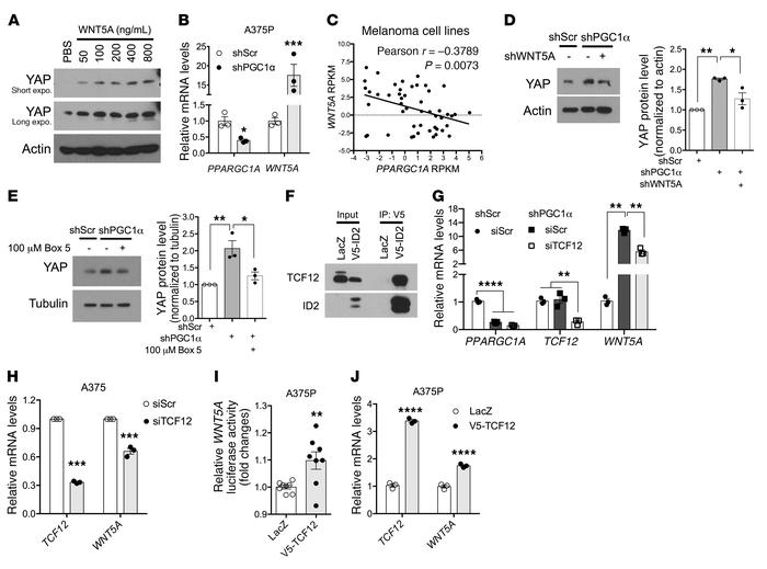 WNT5A mediates YAP regulation by PGC1α. (A) Addition of WNT5A protein in...