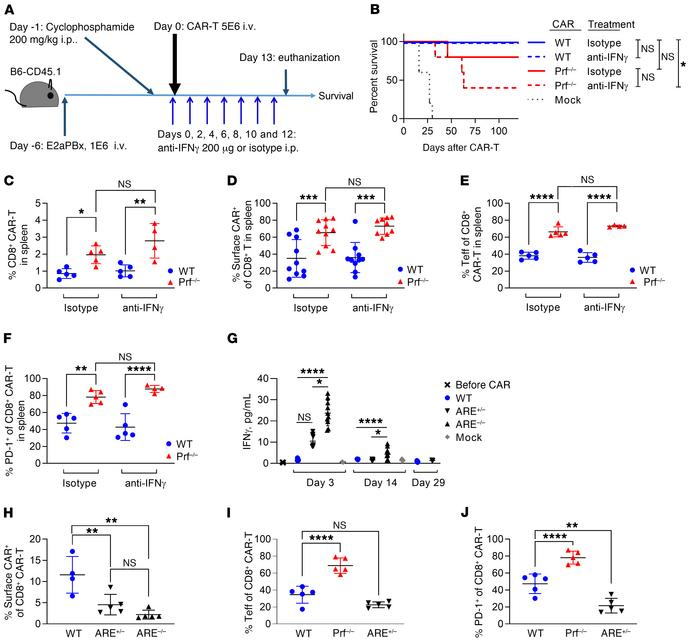 IFN-γ neutralization negatively impacts CAR T cell leukemia clearance. (...