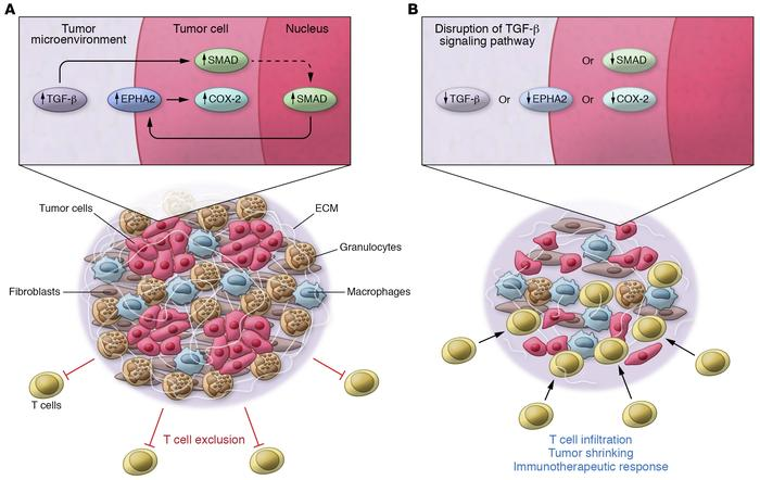 Tumor cell–intrinsic TGF-β signaling drives the upregulation of EPHA2 on...