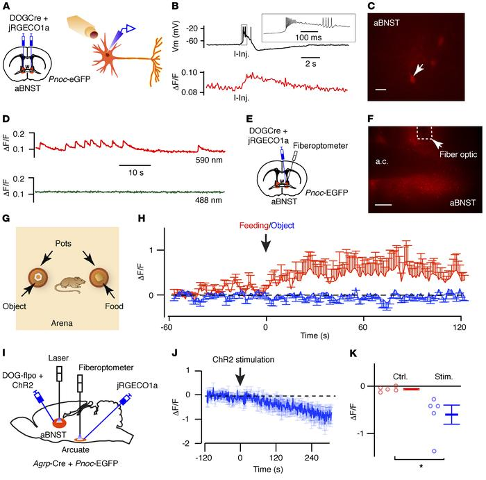 Activity of aBNST nociceptin neurons increases during the initiation of ...