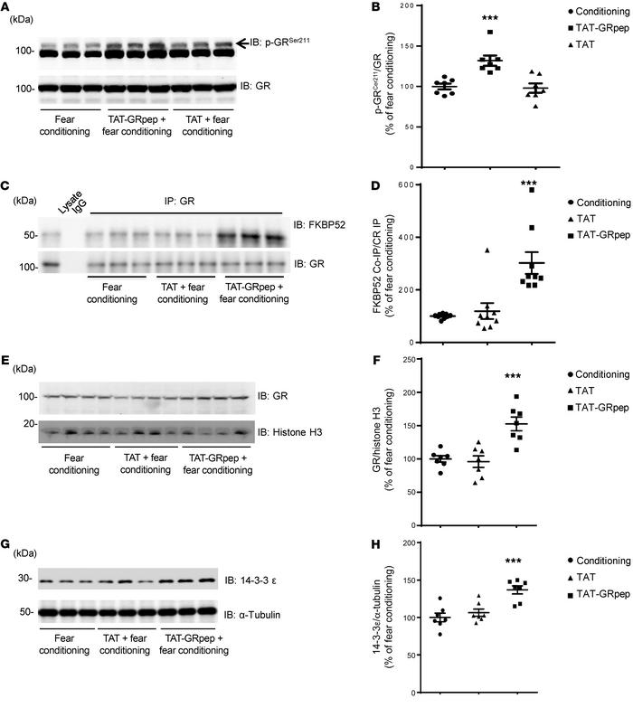Disruption of GR-FKBP51 complex affects GR signaling in fear-conditioned...